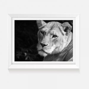Black and White photograph of a lioness