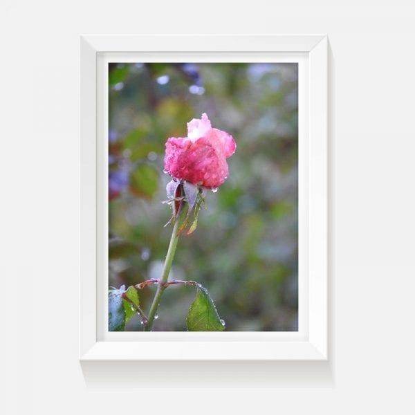 indoor art artwork framed unframed rose