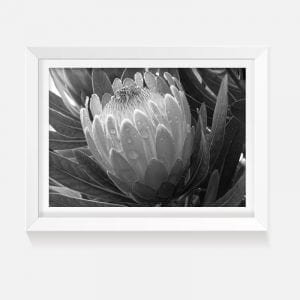 Indoor artwork print black white protea